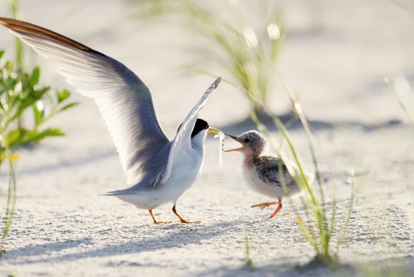 【田螺摄影】黄嘴燕鸥整个出生成长的过程_图1-7