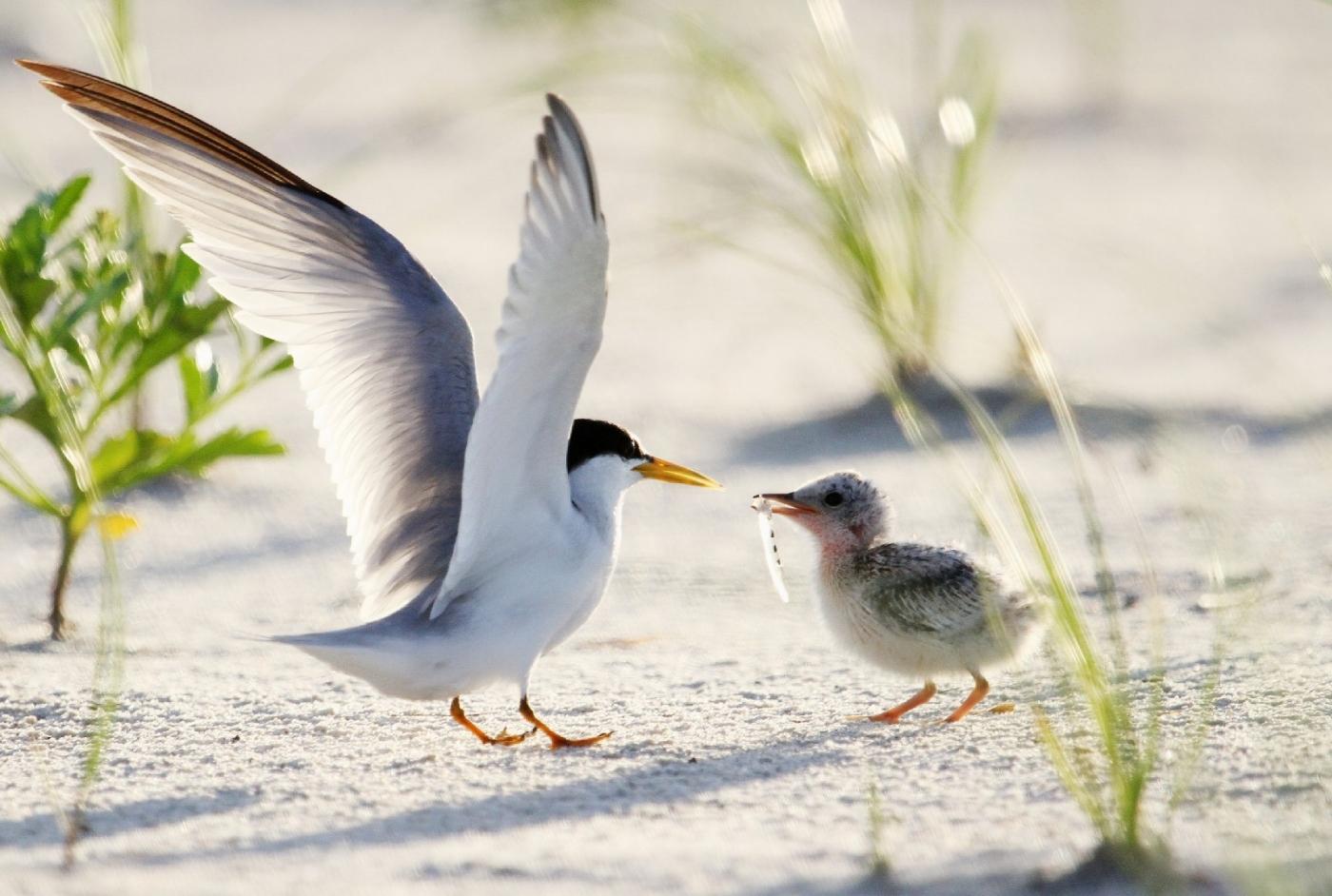 【田螺摄影】黄嘴燕鸥整个出生成长的过程_图1-9
