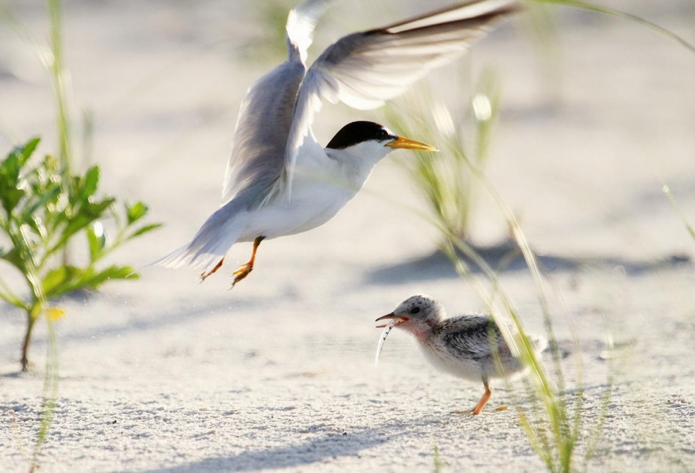 【田螺摄影】黄嘴燕鸥整个出生成长的过程_图1-10