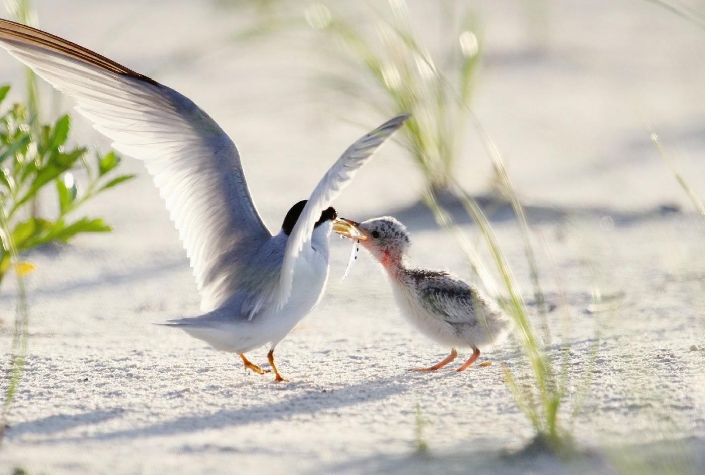 【田螺摄影】黄嘴燕鸥整个出生成长的过程_图1-8