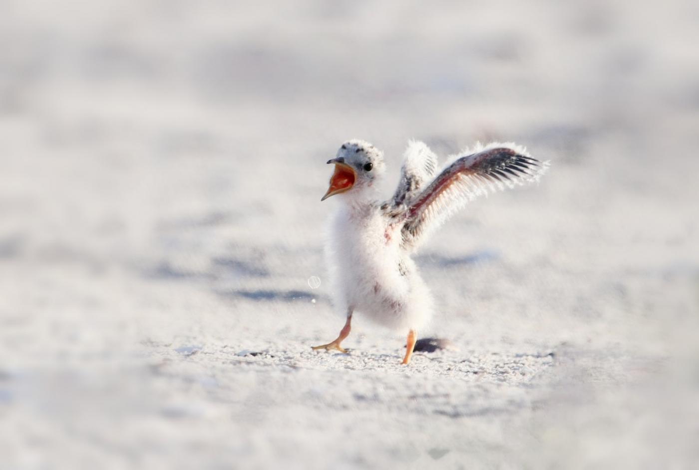 【田螺摄影】黄嘴燕鸥整个出生成长的过程_图1-12