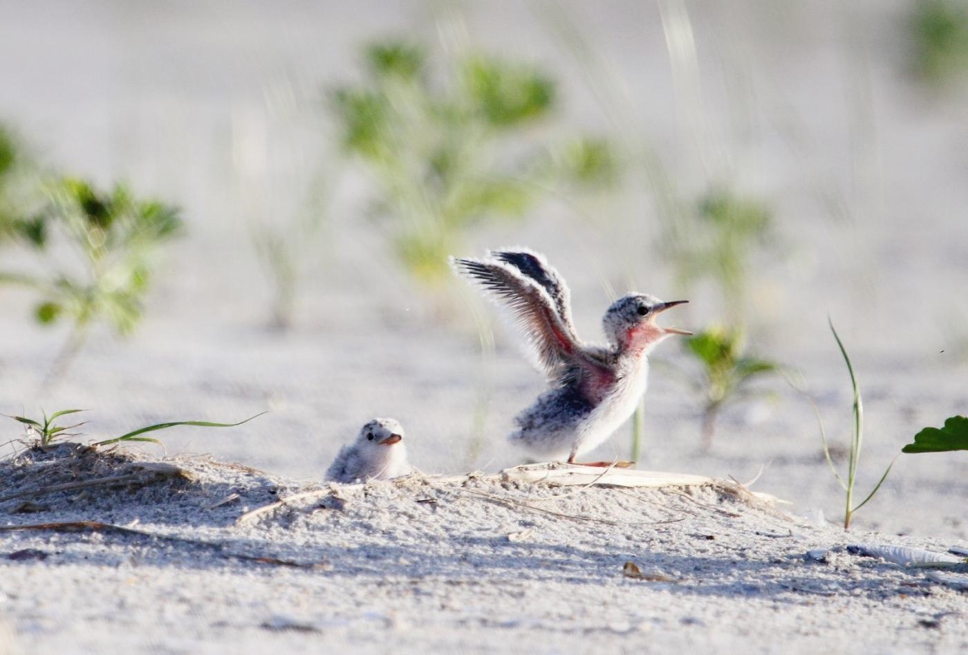 【田螺摄影】黄嘴燕鸥整个出生成长的过程_图1-11