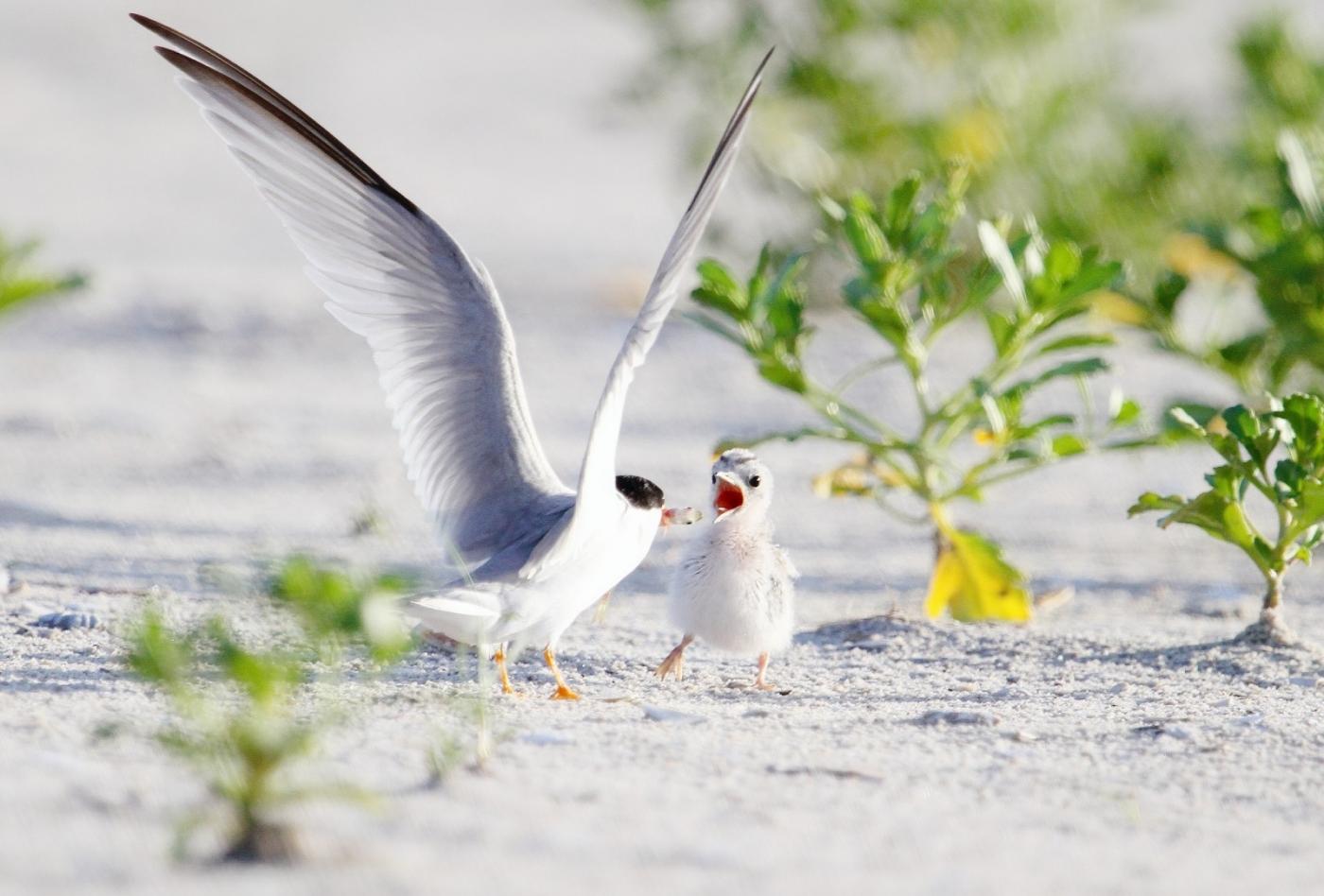 【田螺摄影】黄嘴燕鸥整个出生成长的过程_图1-13