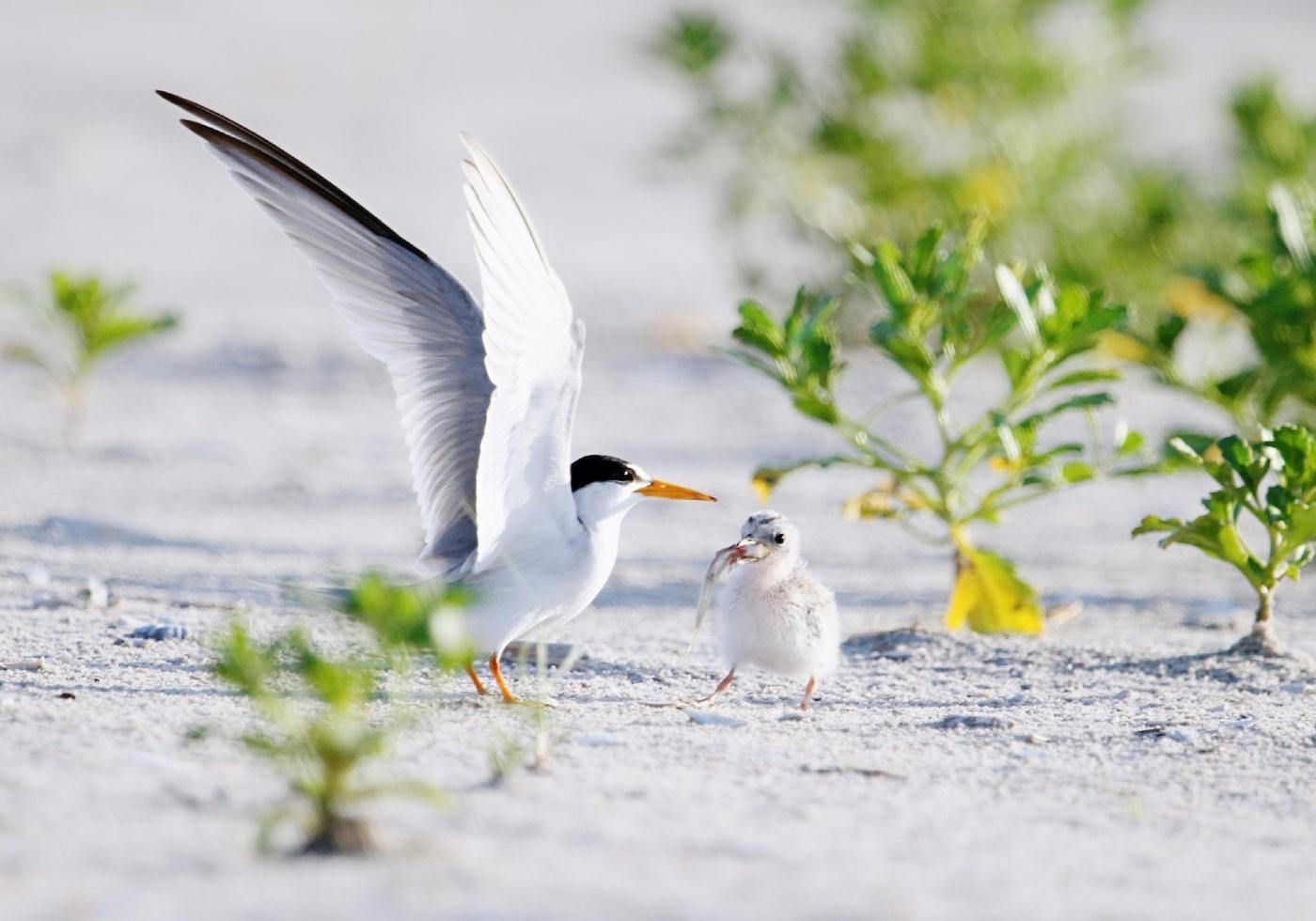 【田螺摄影】黄嘴燕鸥整个出生成长的过程_图1-16