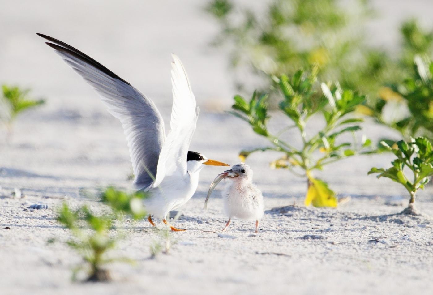 【田螺摄影】黄嘴燕鸥整个出生成长的过程_图1-15