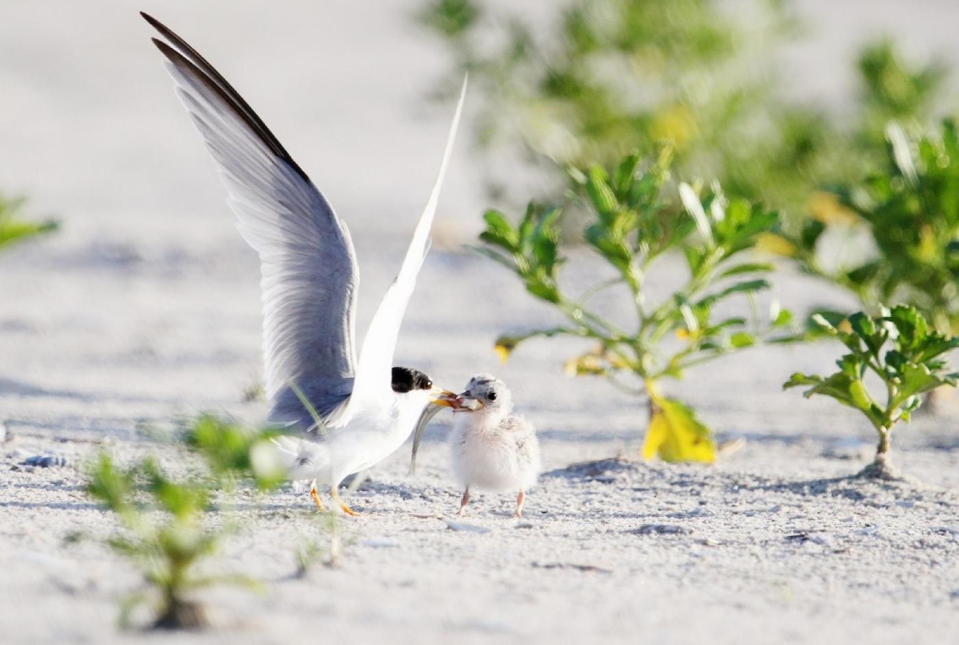 【田螺摄影】黄嘴燕鸥整个出生成长的过程_图1-14