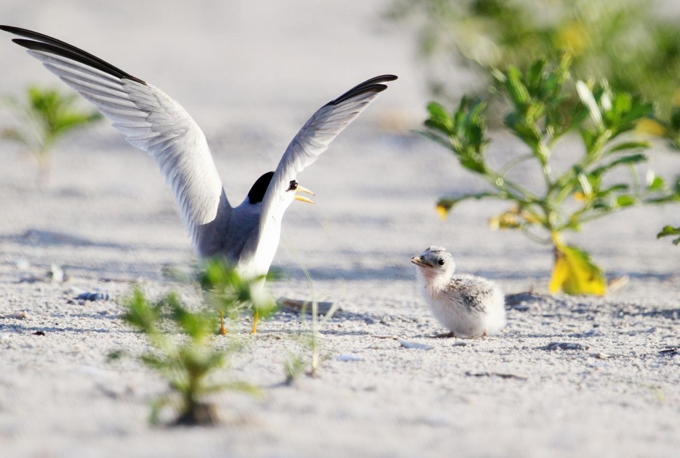 【田螺摄影】黄嘴燕鸥整个出生成长的过程_图1-17