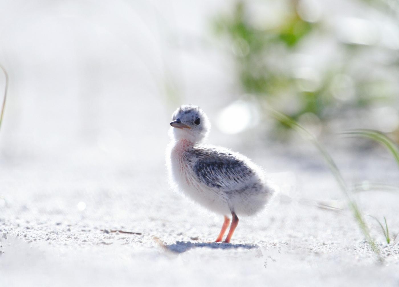 【田螺摄影】黄嘴燕鸥整个出生成长的过程_图1-19