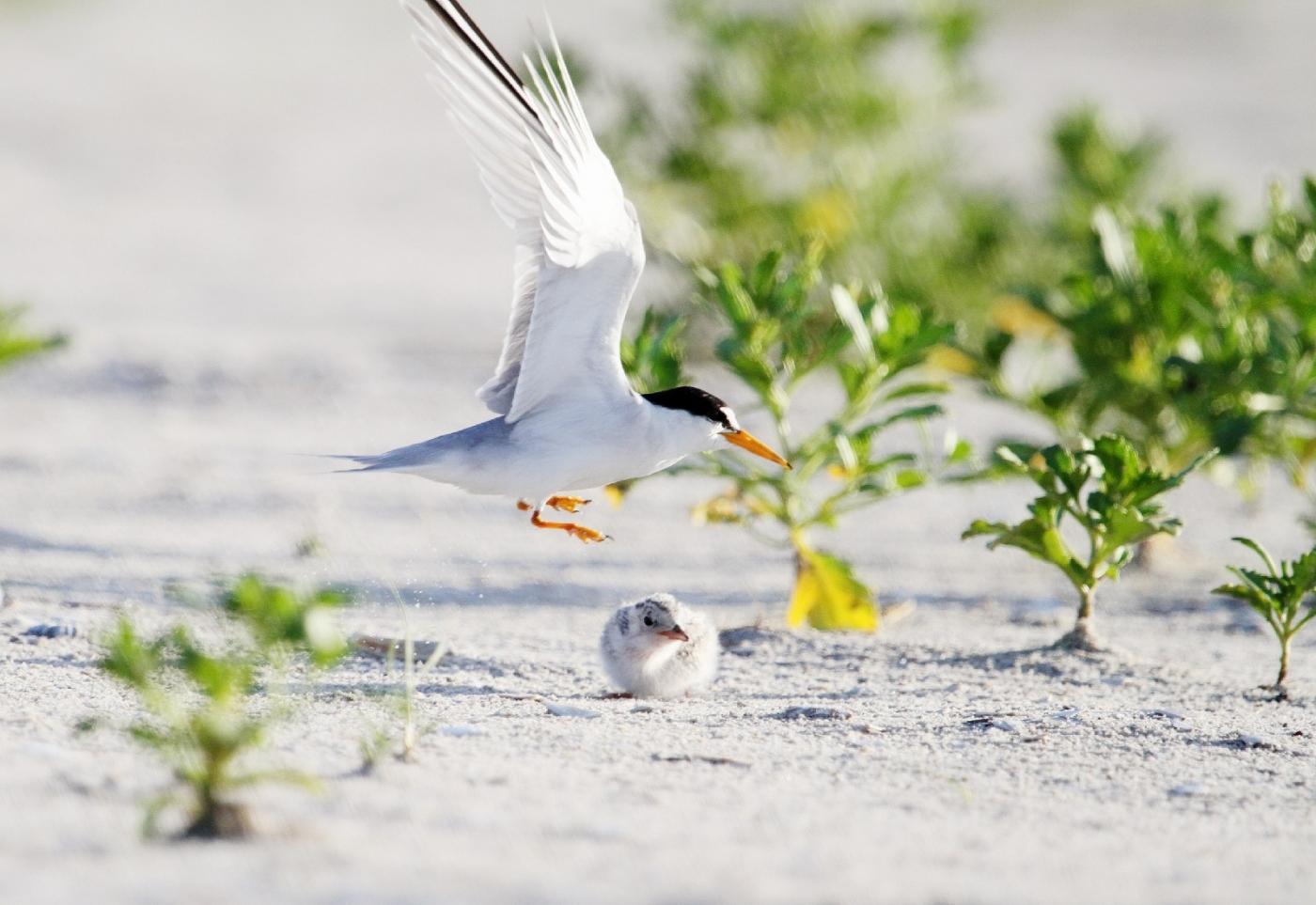 【田螺摄影】黄嘴燕鸥整个出生成长的过程_图1-18