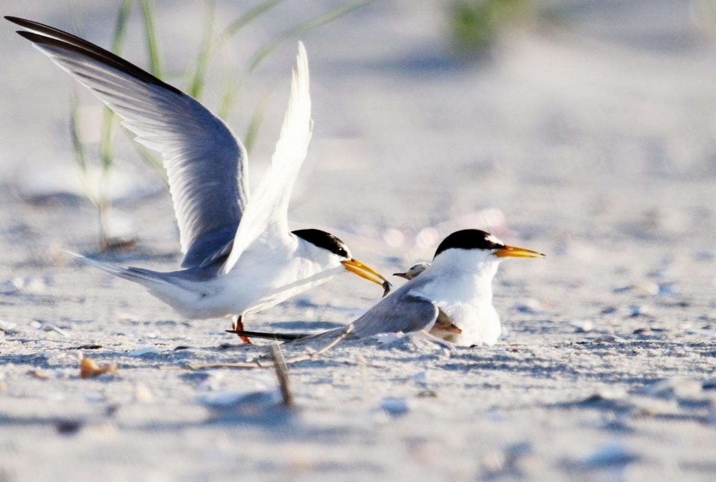 【田螺摄影】黄嘴燕鸥整个出生成长的过程_图1-22