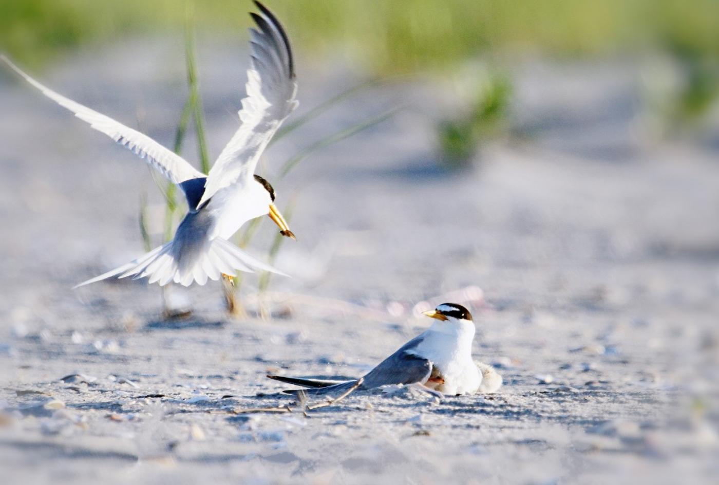 【田螺摄影】黄嘴燕鸥整个出生成长的过程_图1-23
