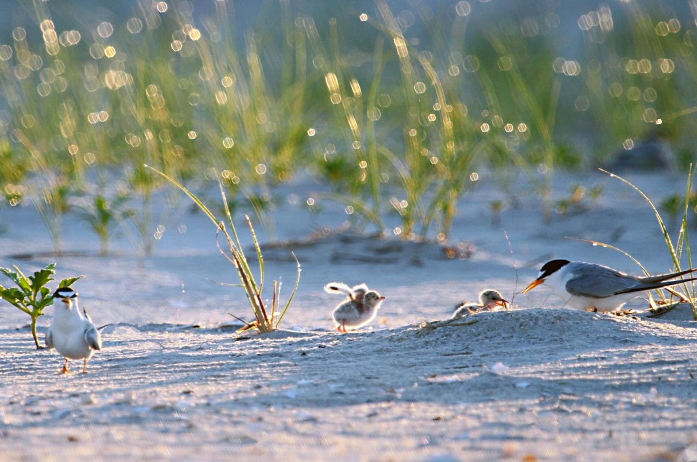 【田螺摄影】黄嘴燕鸥整个出生成长的过程_图1-24