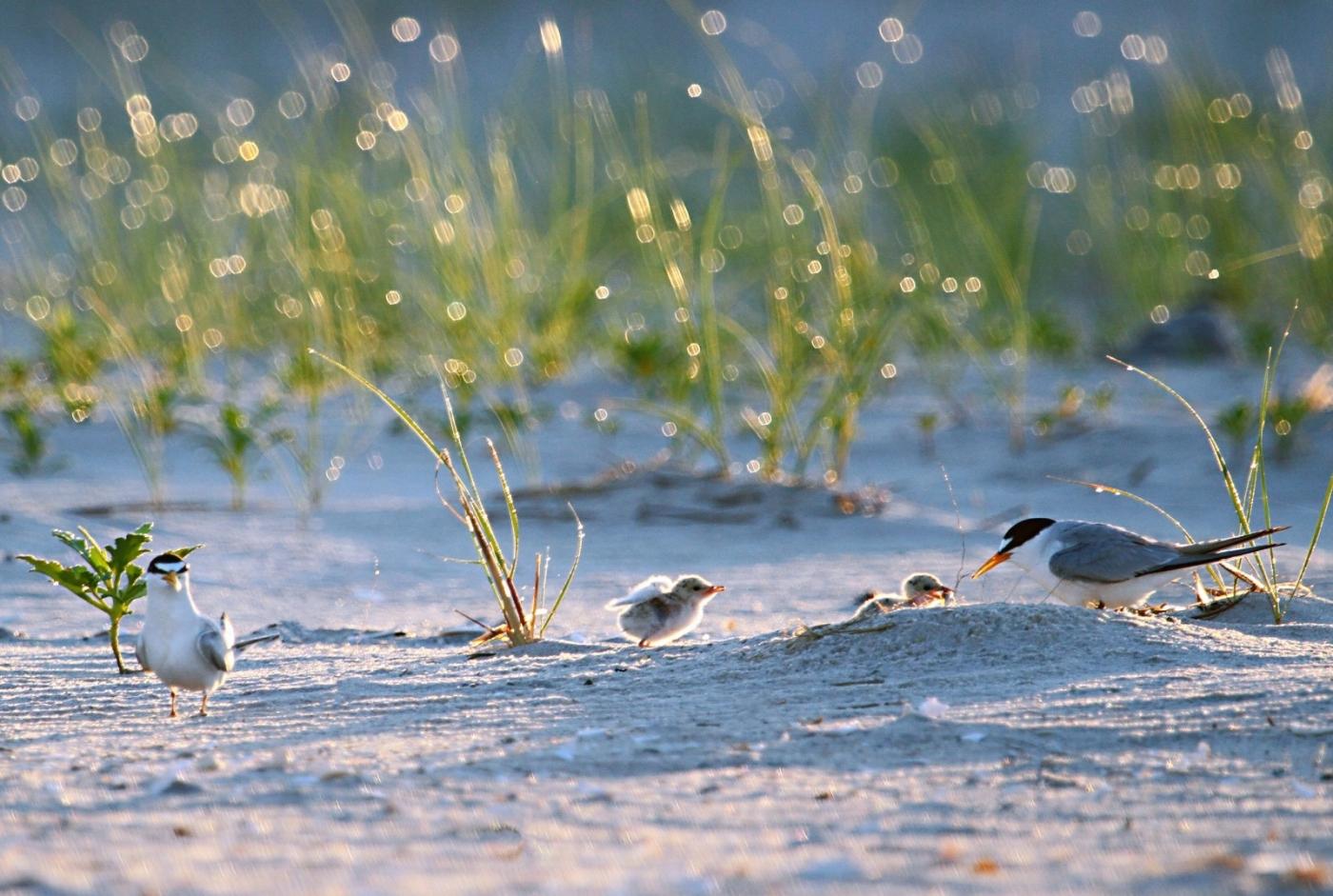 【田螺摄影】黄嘴燕鸥整个出生成长的过程_图1-25