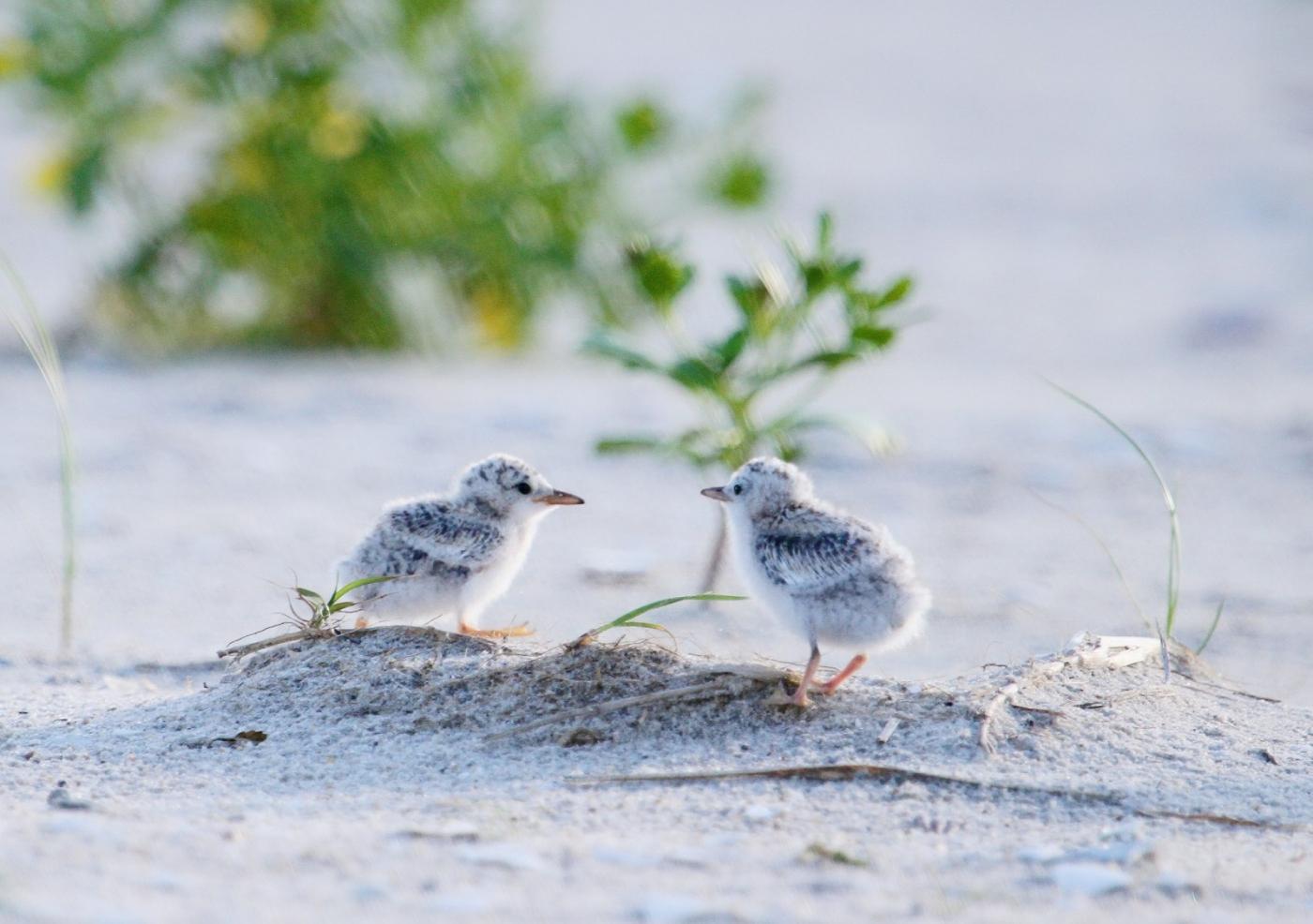 【田螺摄影】黄嘴燕鸥整个出生成长的过程_图1-26