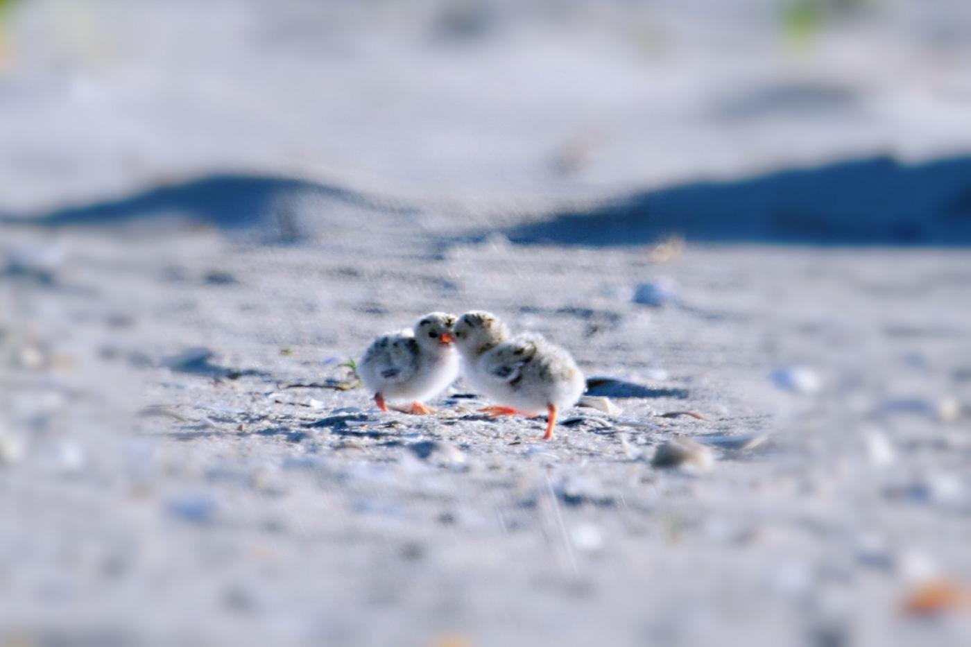 【田螺摄影】黄嘴燕鸥整个出生成长的过程_图1-27