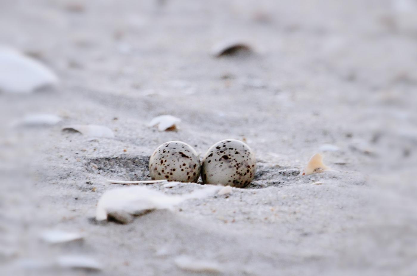 【田螺摄影】黄嘴燕鸥整个出生成长的过程_图1-29