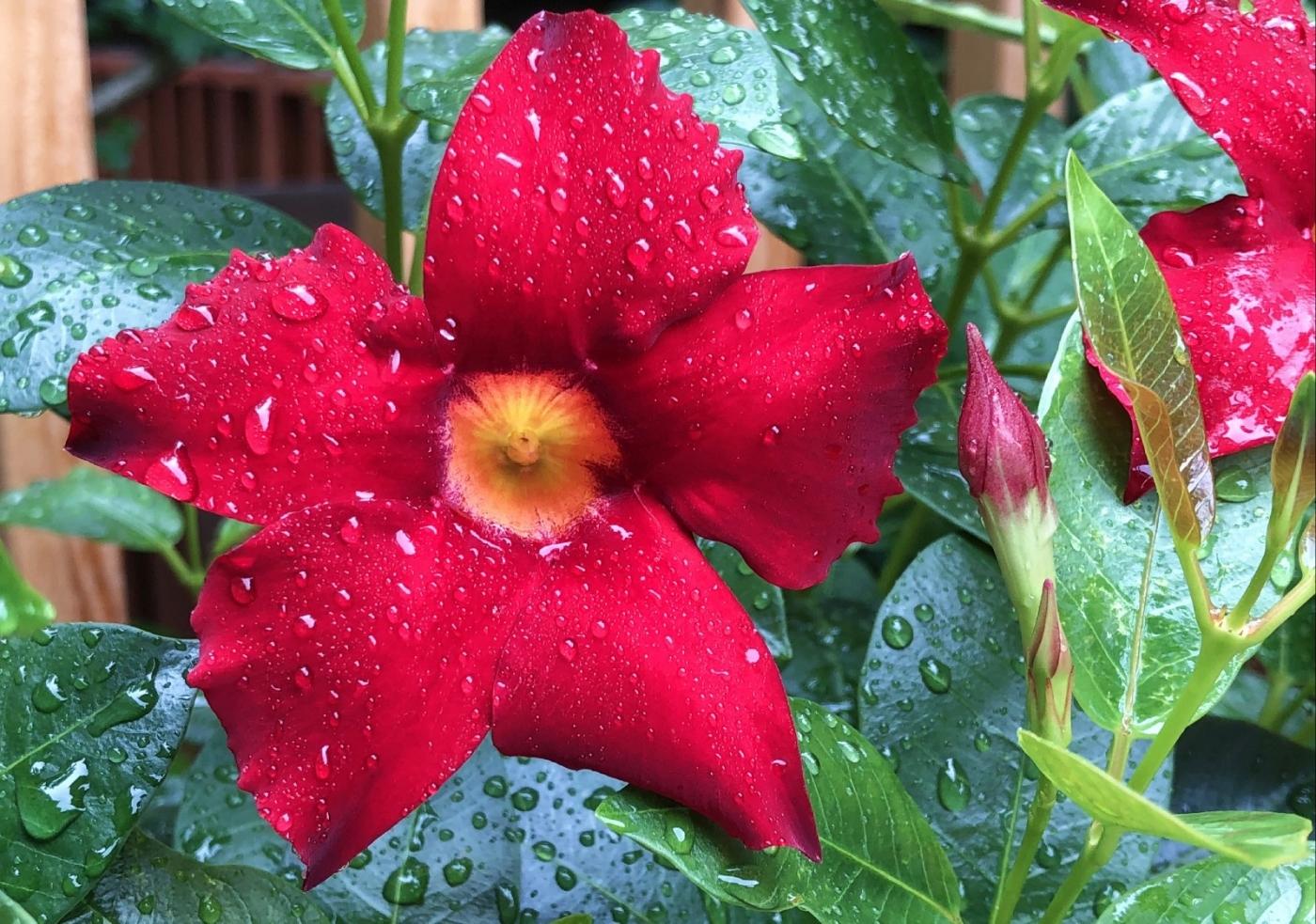 【田螺随拍】我今年种的蜂鸟喜欢吃的花都开了_图1-3