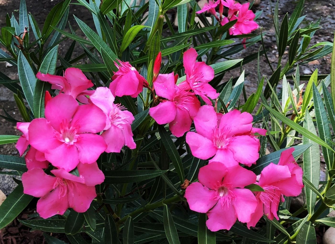 【田螺随拍】我今年种的蜂鸟喜欢吃的花都开了_图1-2