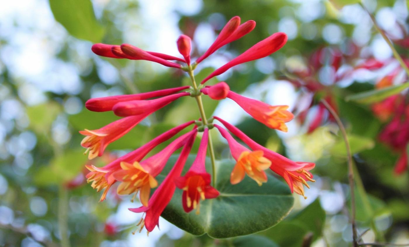 【田螺随拍】我今年种的蜂鸟喜欢吃的花都开了_图1-5