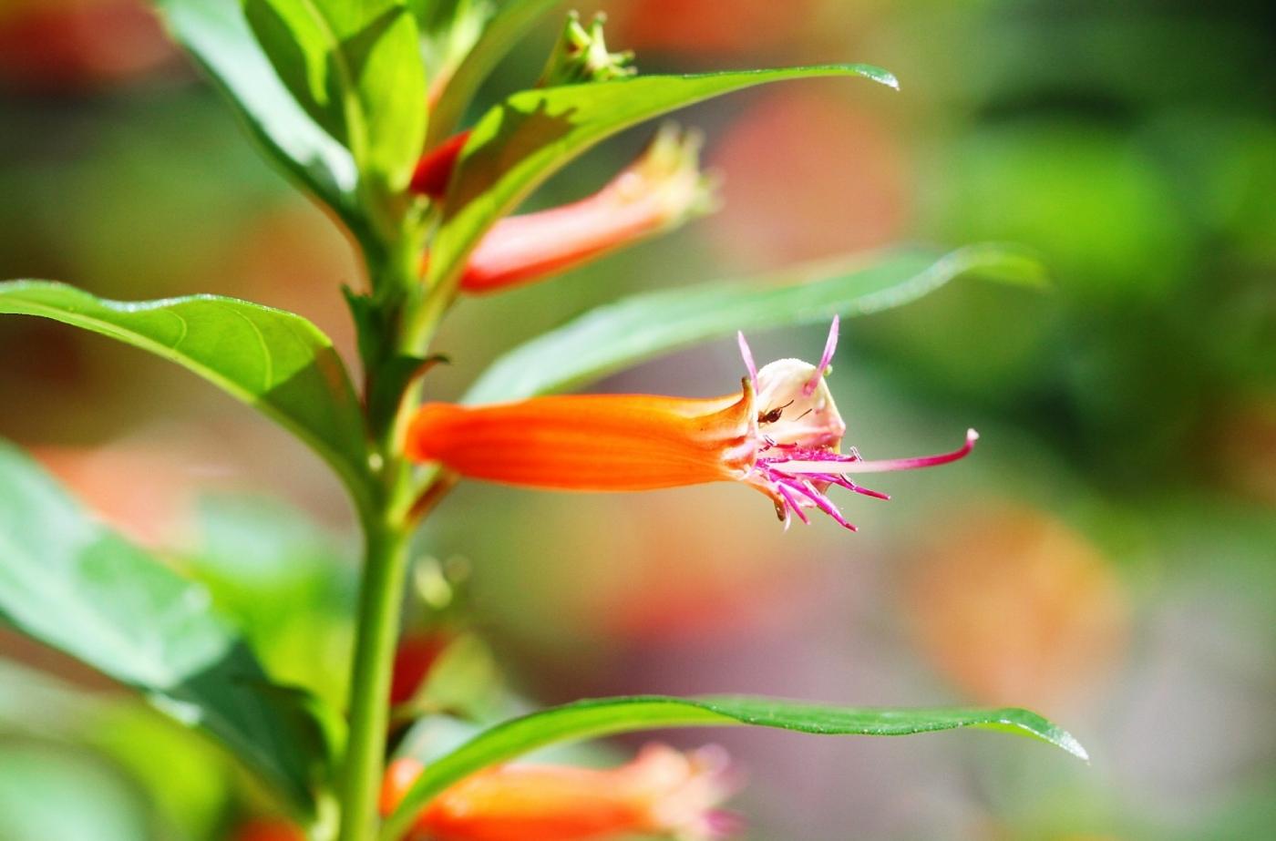 【田螺随拍】我今年种的蜂鸟喜欢吃的花都开了_图1-7
