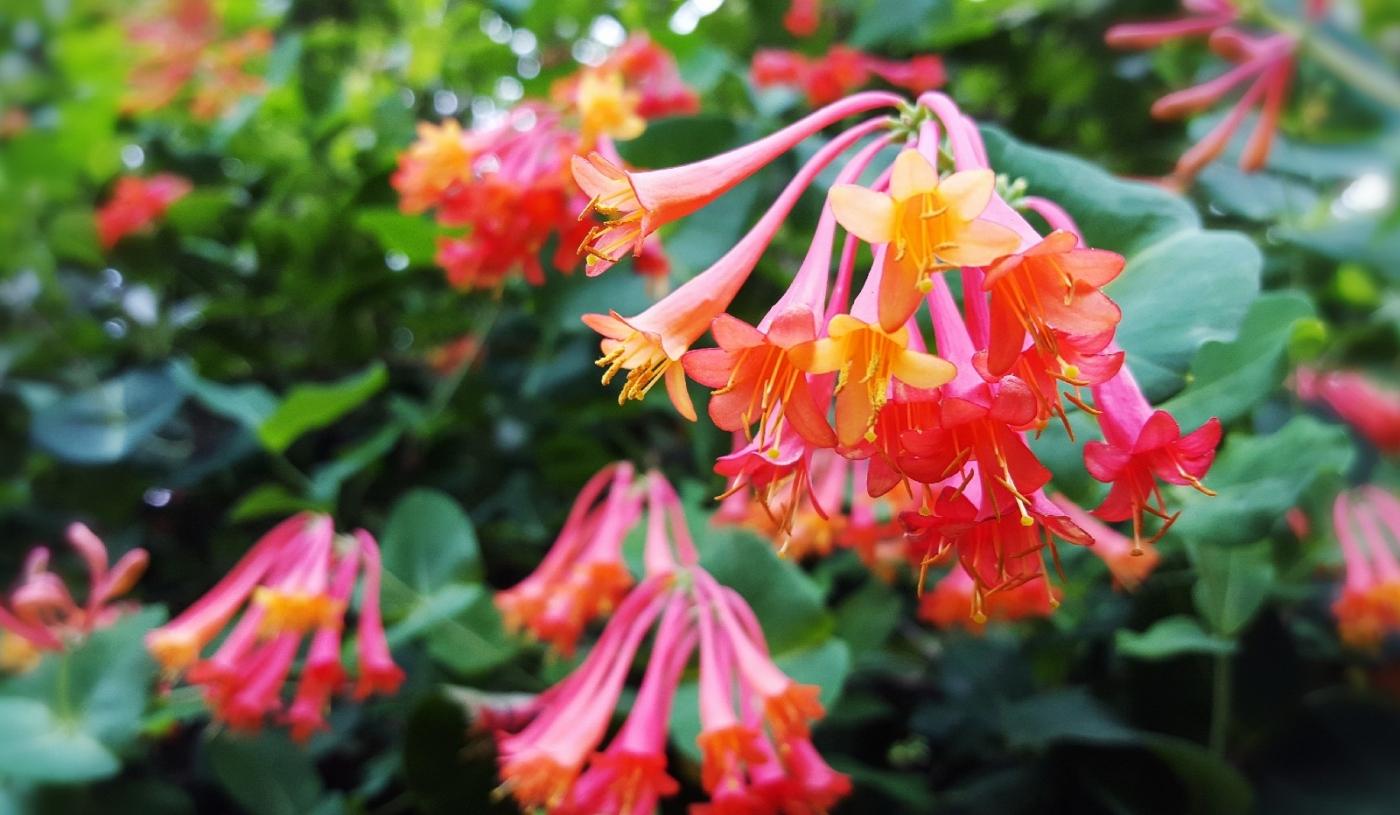 【田螺随拍】我今年种的蜂鸟喜欢吃的花都开了_图1-6