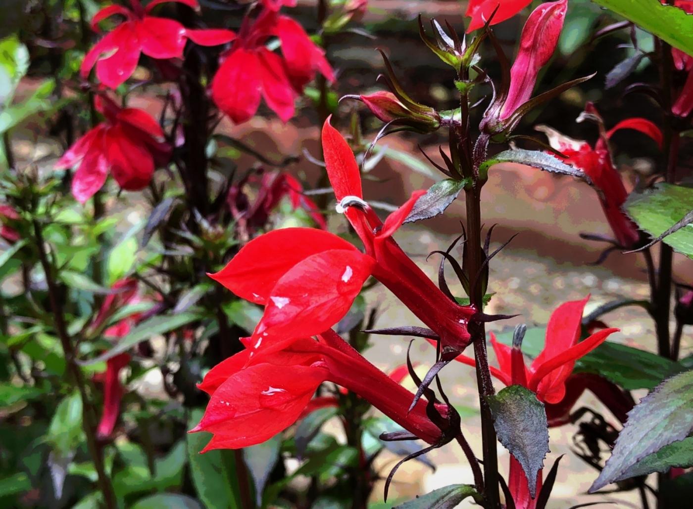 【田螺随拍】我今年种的蜂鸟喜欢吃的花都开了_图1-11