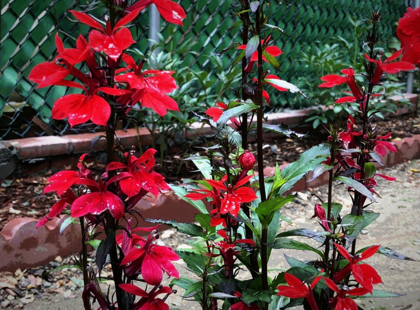 【田螺随拍】我今年种的蜂鸟喜欢吃的花都开了_图1-12