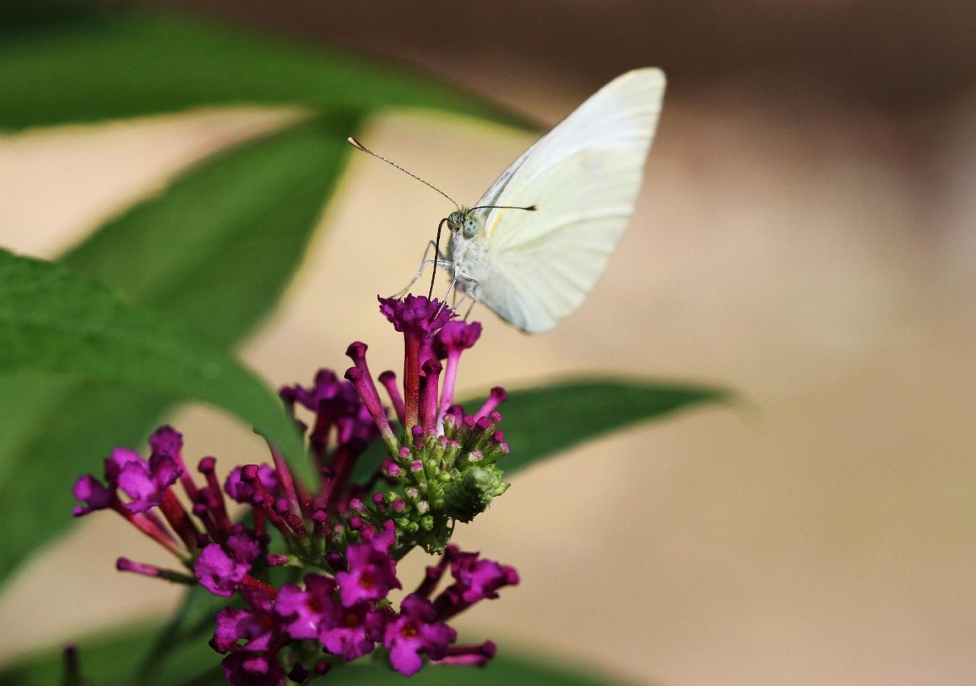 【田螺随拍】我今年种的蜂鸟喜欢吃的花都开了_图1-13