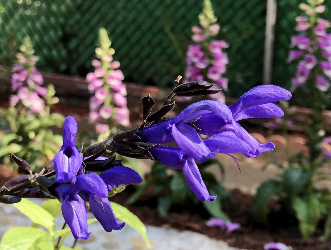 【田螺随拍】我今年种的蜂鸟喜欢吃的花都开了_图1-15