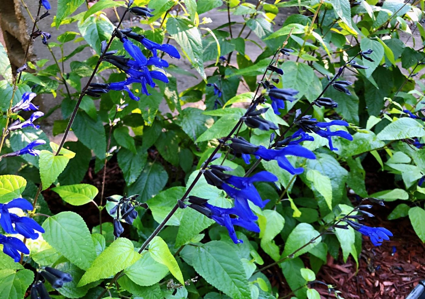 【田螺随拍】我今年种的蜂鸟喜欢吃的花都开了_图1-17