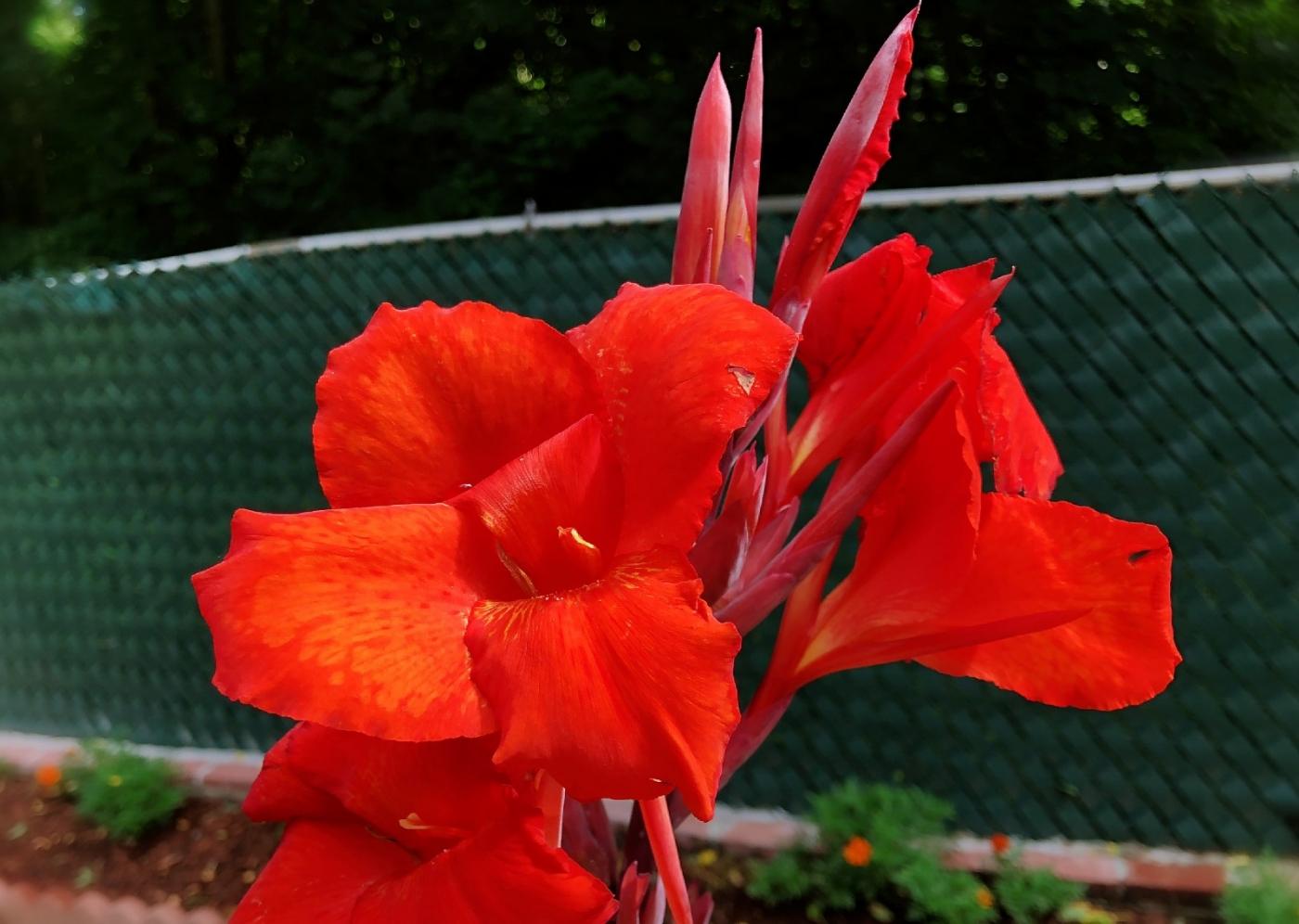 【田螺随拍】我今年种的蜂鸟喜欢吃的花都开了_图1-19