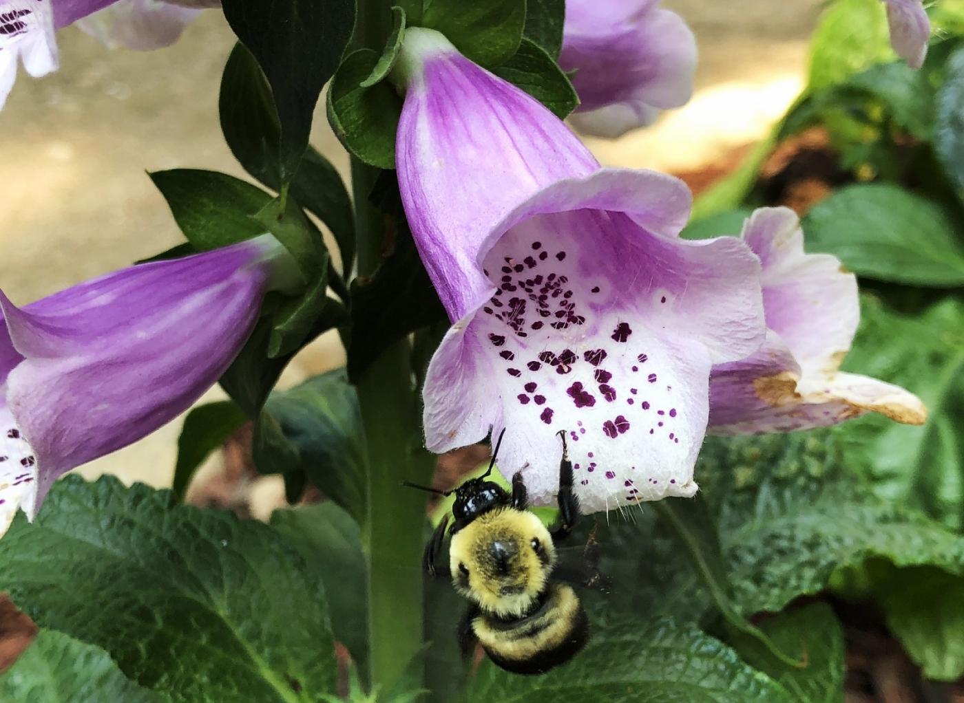 【田螺随拍】我今年种的蜂鸟喜欢吃的花都开了_图1-22