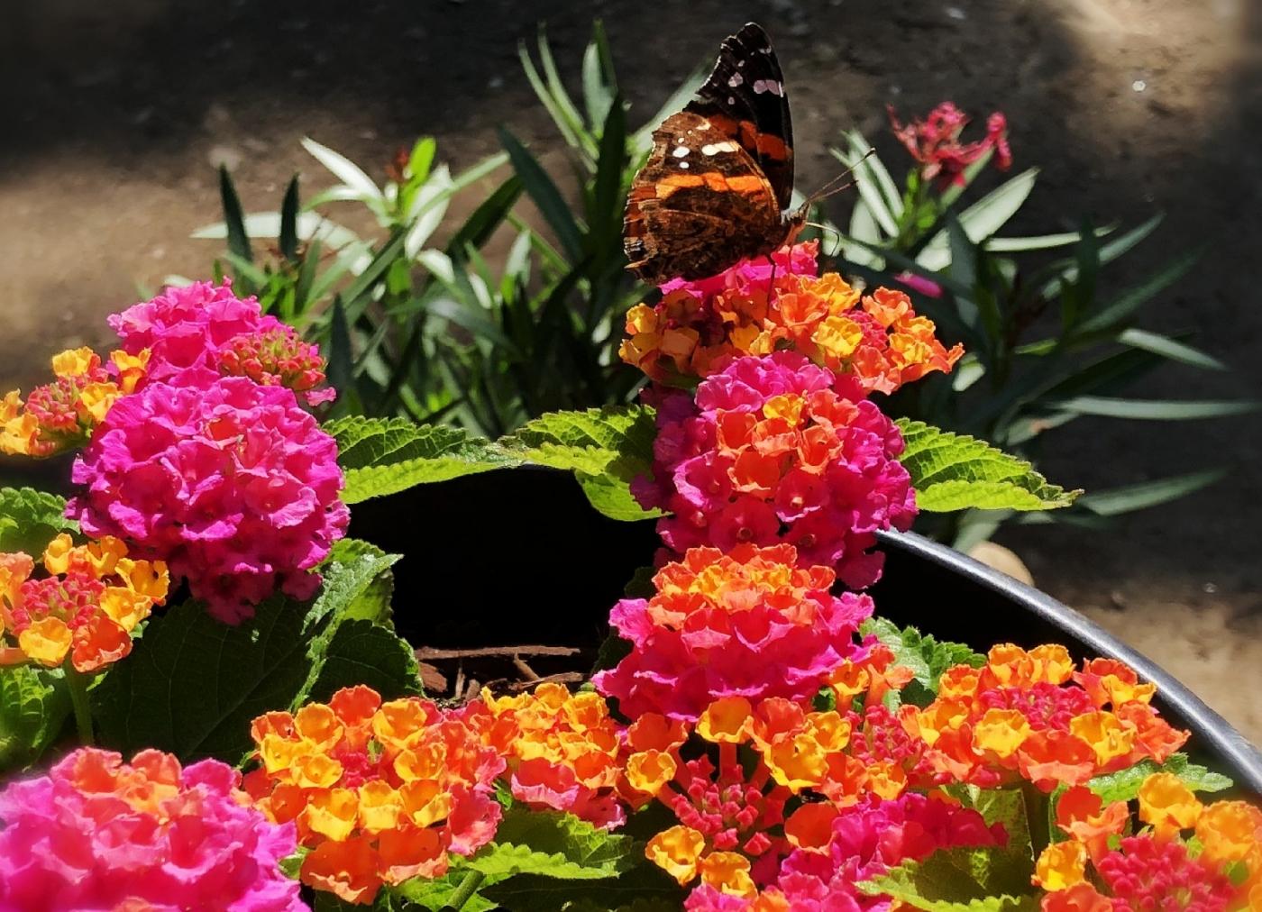 【田螺随拍】我今年种的蜂鸟喜欢吃的花都开了_图1-23