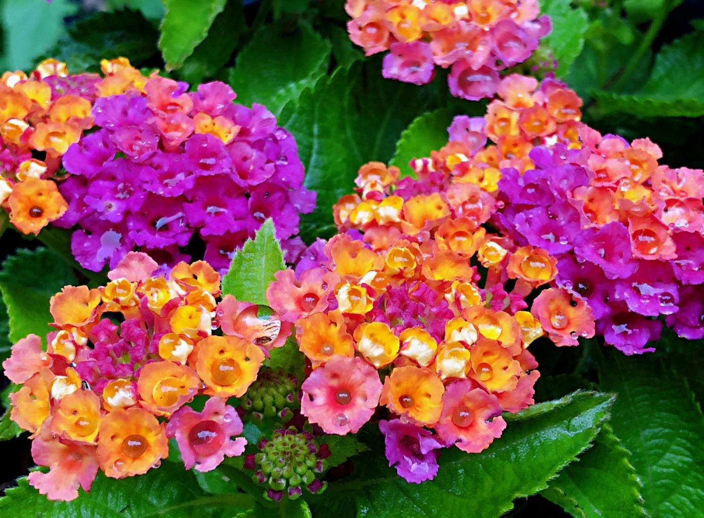 【田螺随拍】我今年种的蜂鸟喜欢吃的花都开了_图1-24
