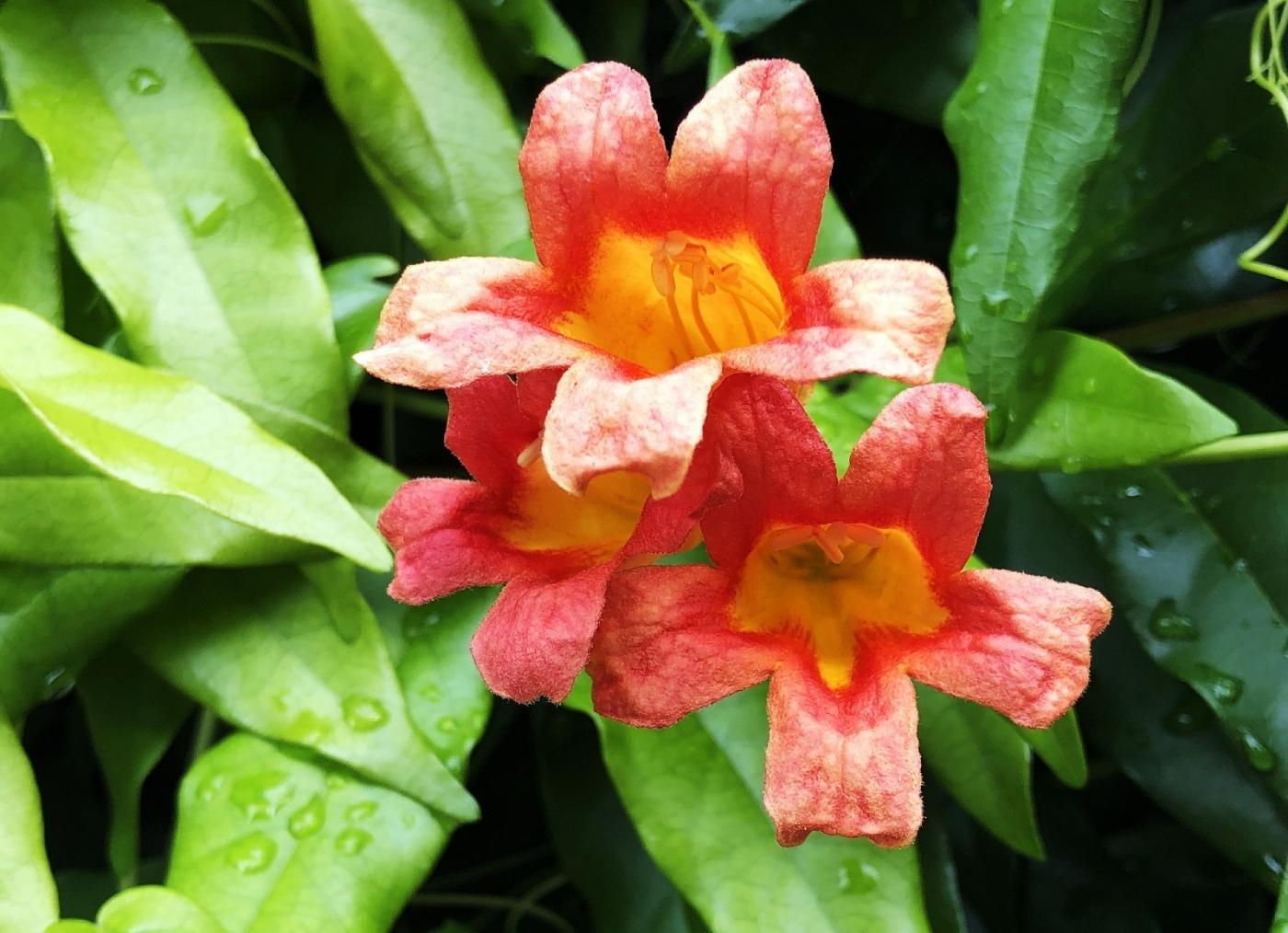 【田螺随拍】我今年种的蜂鸟喜欢吃的花都开了_图1-27