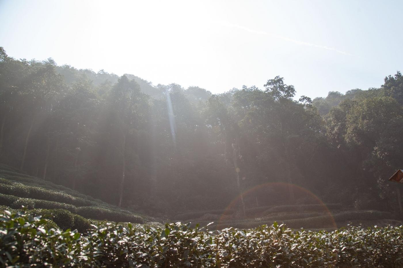 游杭州梅家坞茶场,品西湖龙井茶_图1-2