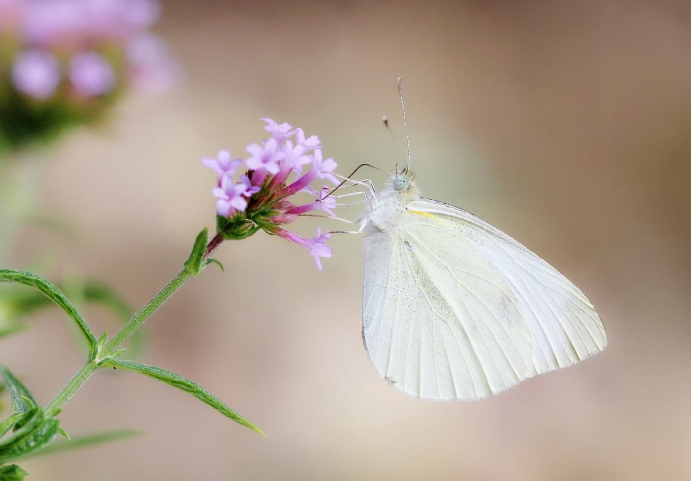 【田螺随拍】我院子里的蝴蝶_图1-2