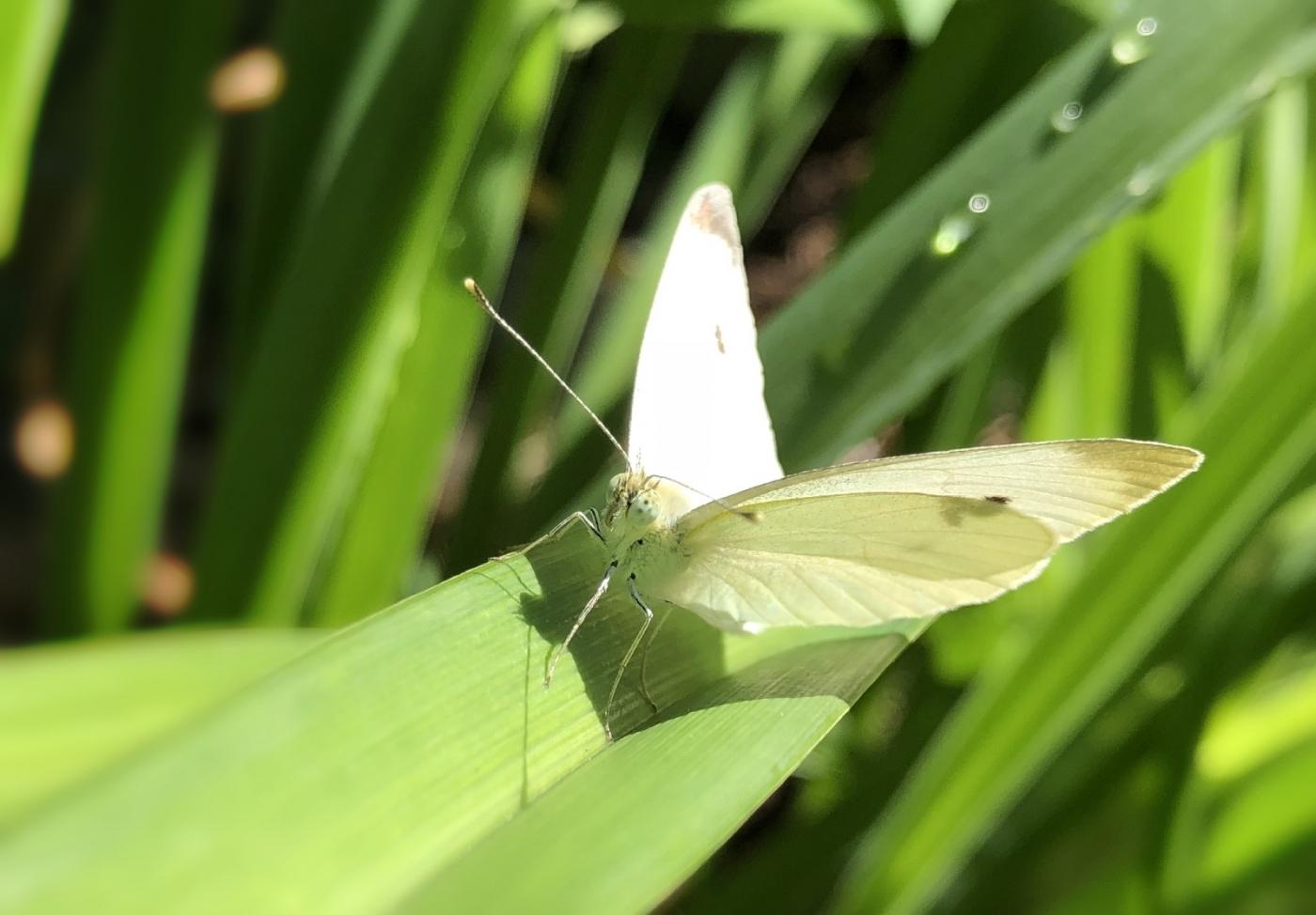 【田螺随拍】我院子里的蝴蝶_图1-1