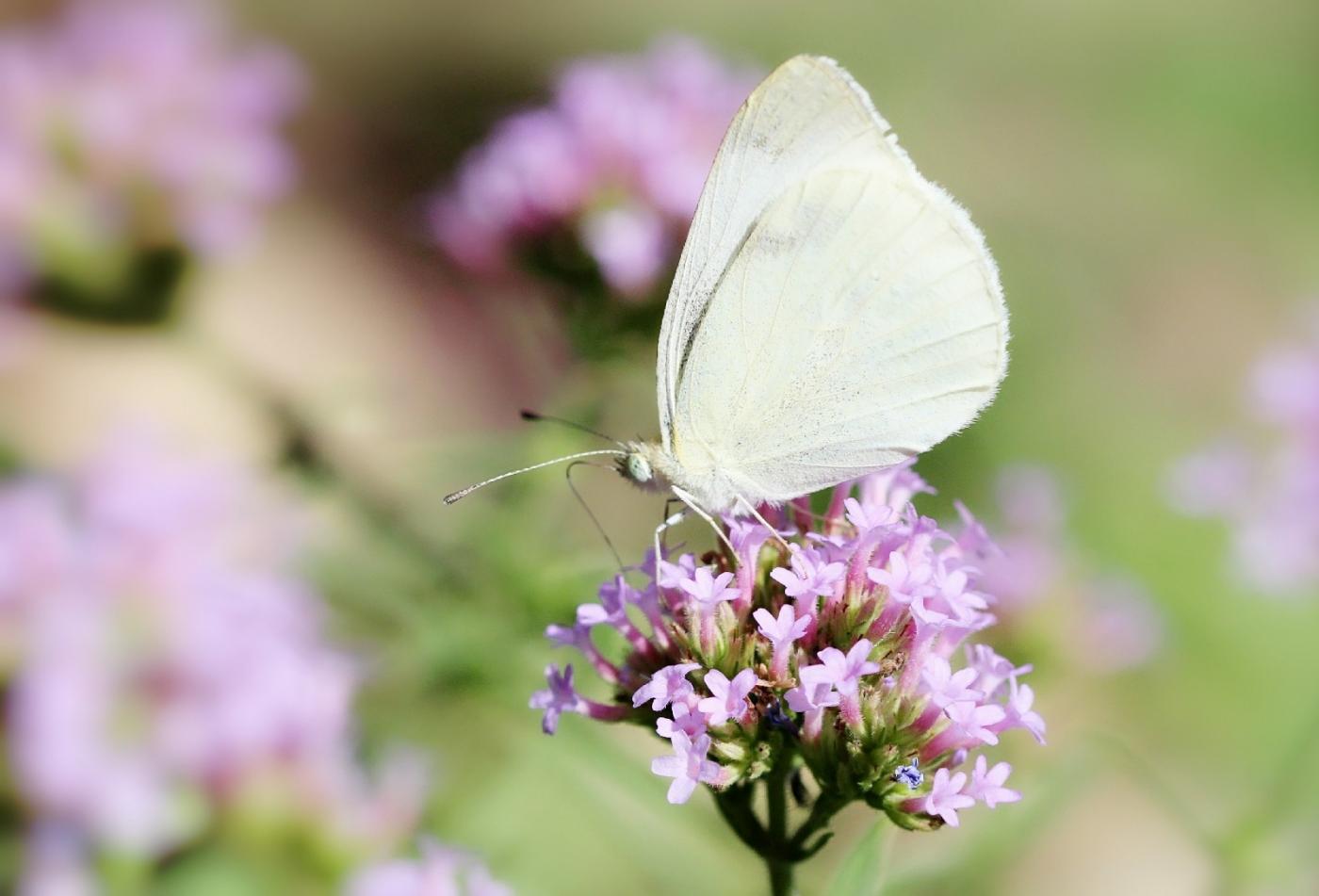 【田螺随拍】我院子里的蝴蝶_图1-6