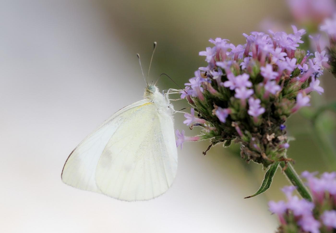 【田螺随拍】我院子里的蝴蝶_图1-4