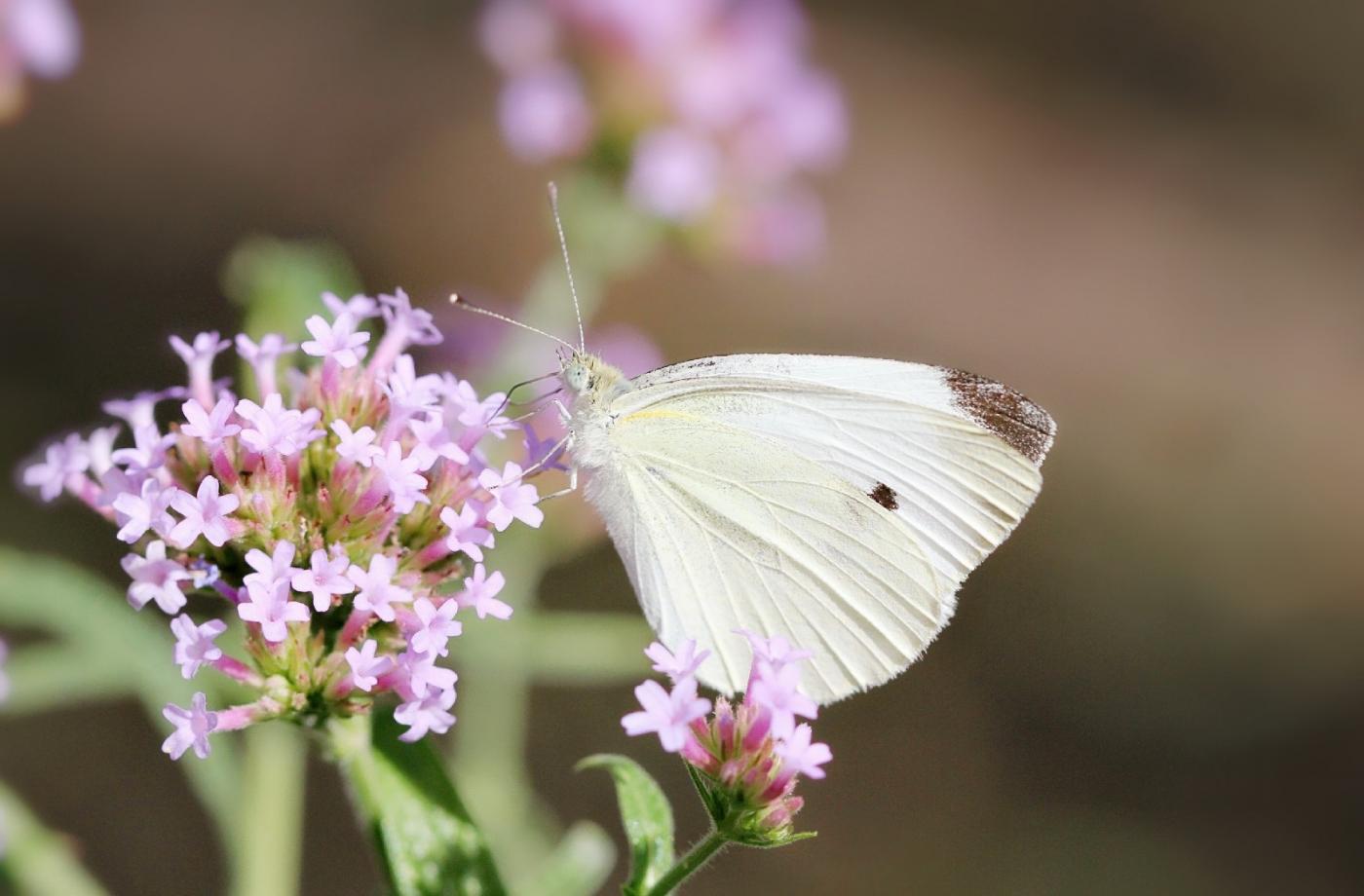 【田螺随拍】我院子里的蝴蝶_图1-7