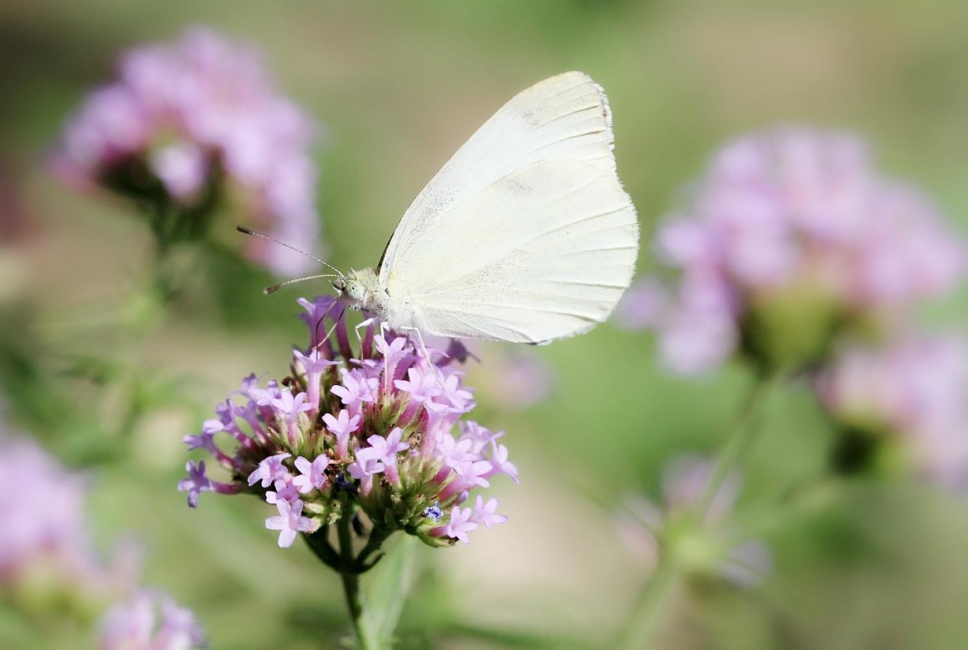 【田螺随拍】我院子里的蝴蝶_图1-8
