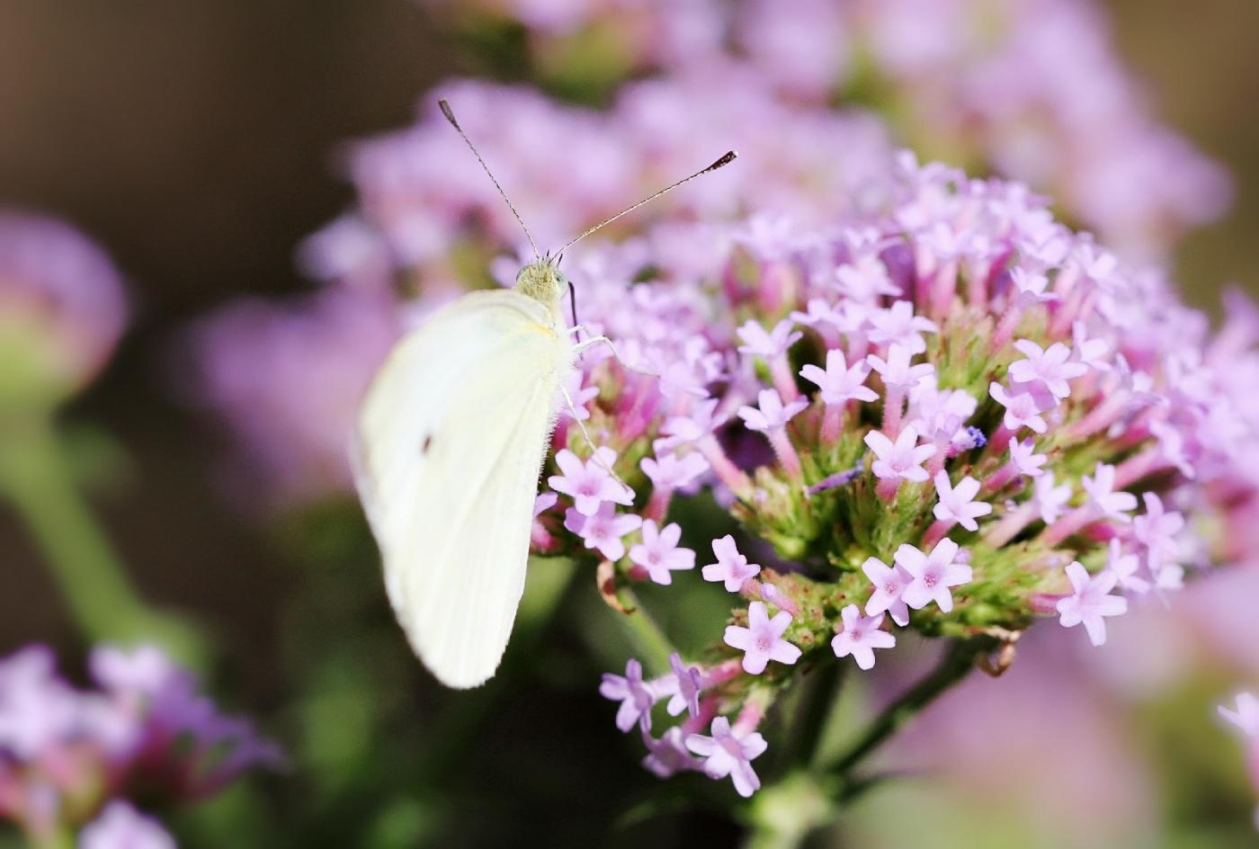 【田螺随拍】我院子里的蝴蝶_图1-9