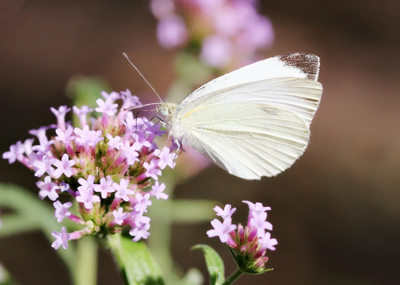 【田螺随拍】我院子里的蝴蝶_图1-13
