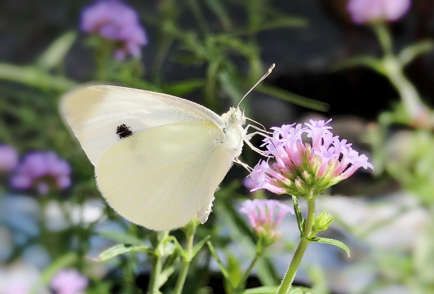【田螺随拍】我院子里的蝴蝶_图1-15