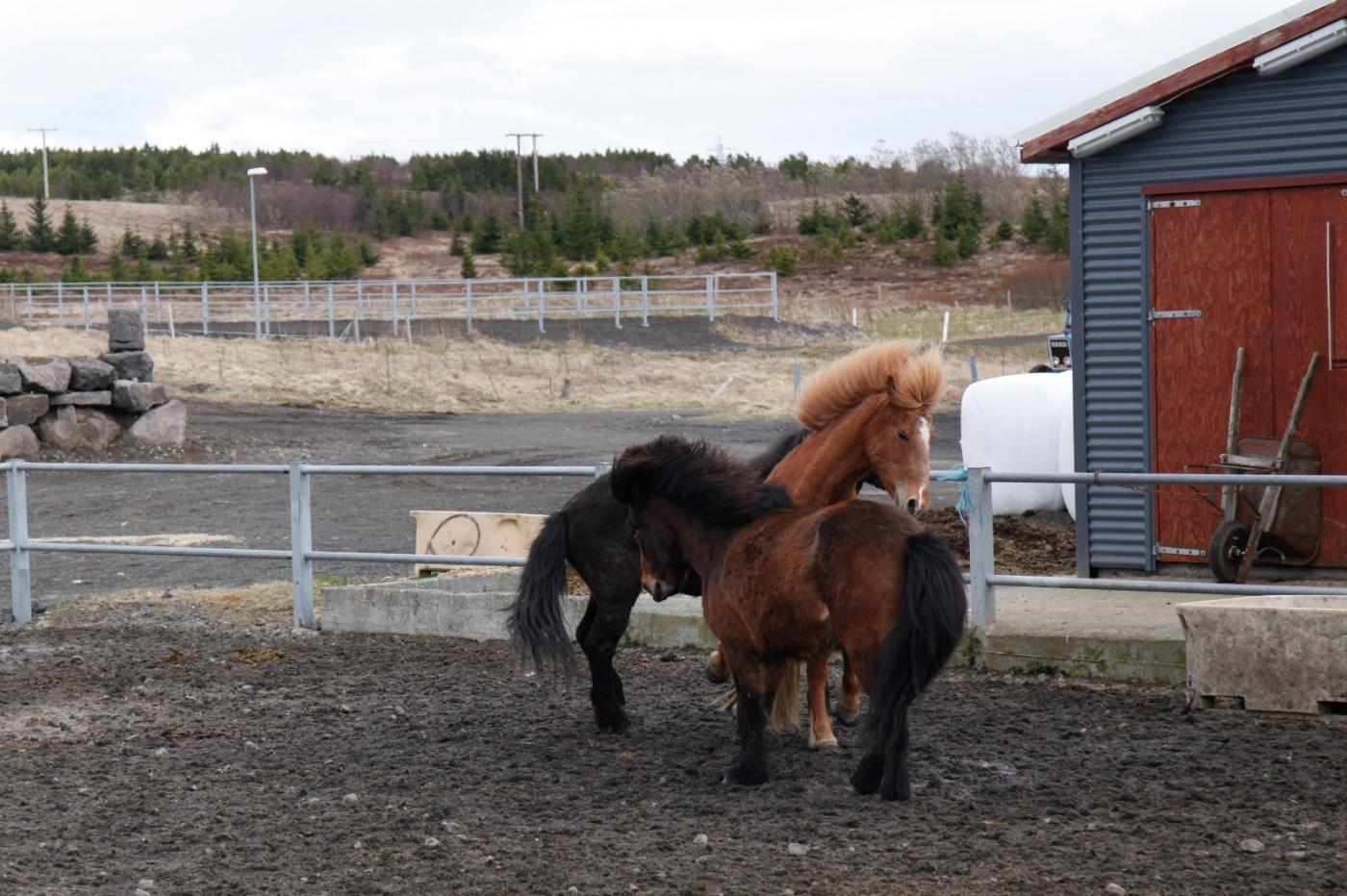 游冰岛马场,策马扬鞭....._图1-9