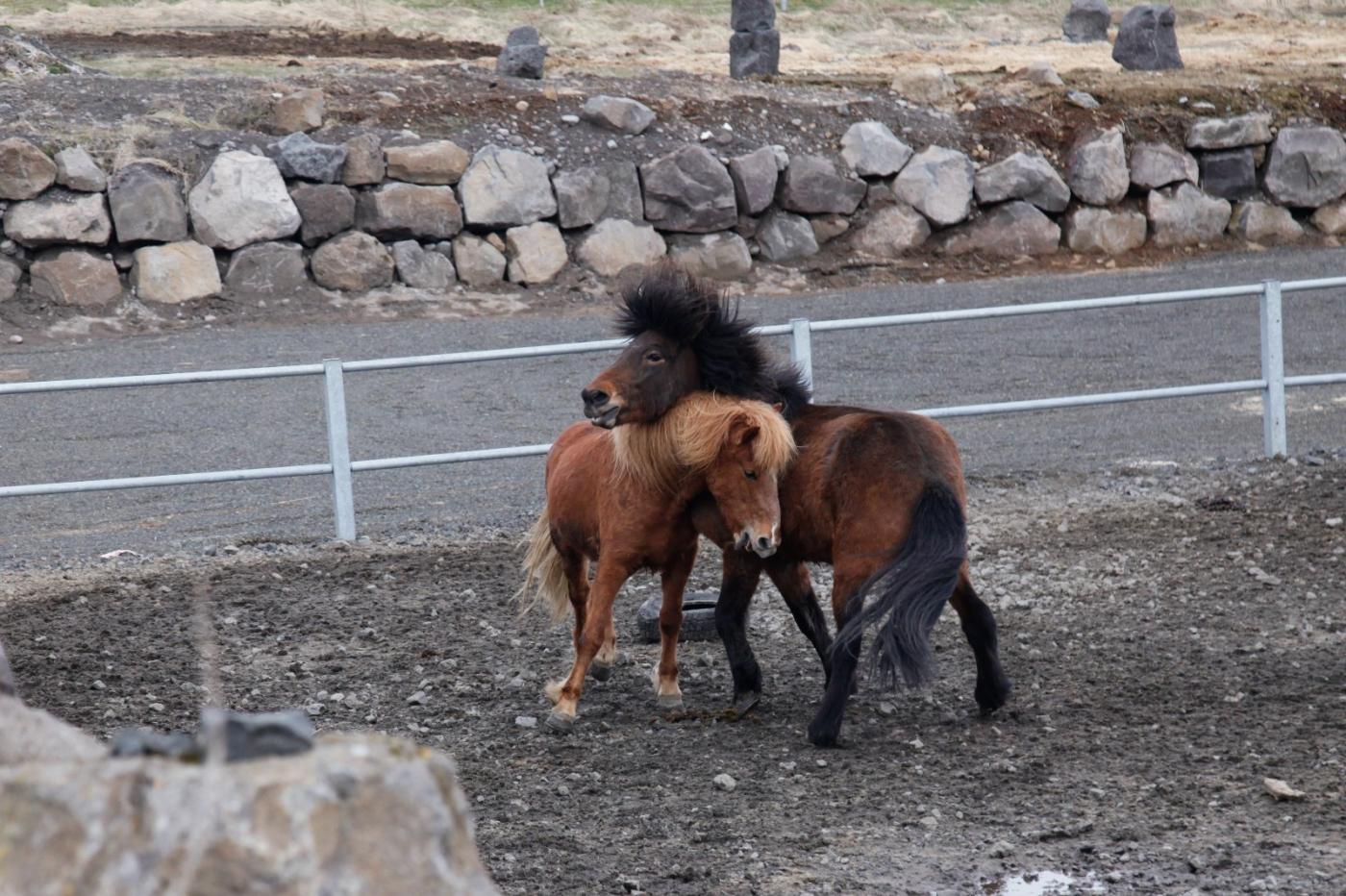 游冰岛马场,策马扬鞭....._图1-10