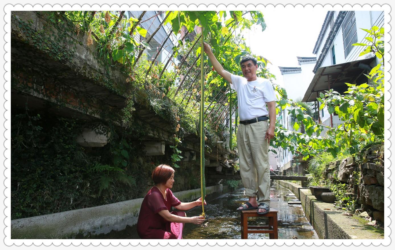 自家种的丝瓜有2.4米_图1-1
