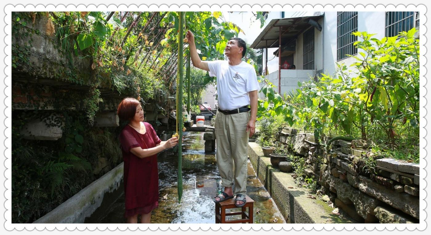 自家种的丝瓜有2.4米_图1-2