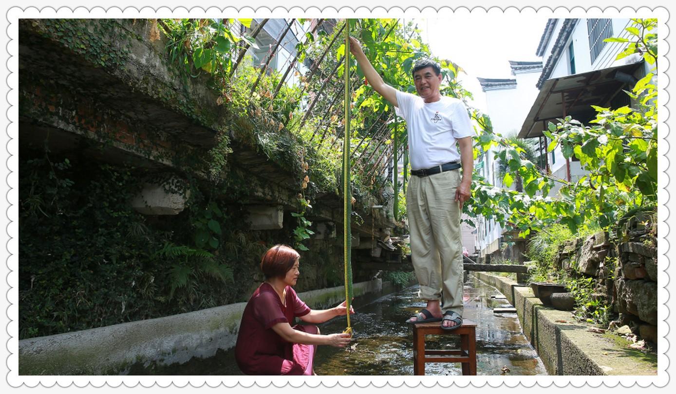 自家种的丝瓜有2.4米_图1-6